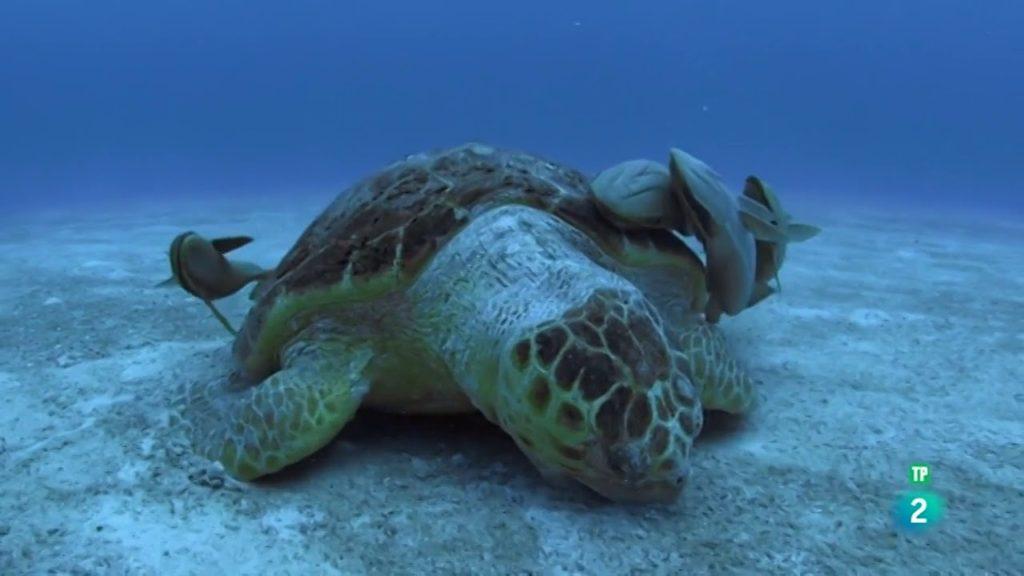 bahamas tortuga documental