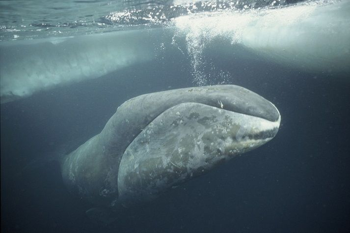 ballena-de-groenlandia-Balaena-mysticetus lista de ballenas mas grandes