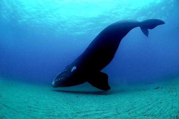 ballena franca austral Eubalaena australis lista de ballenas mas grandes