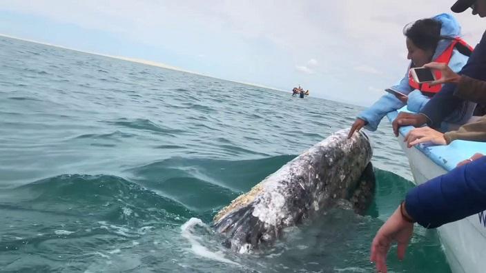 ballena gris saludando turista