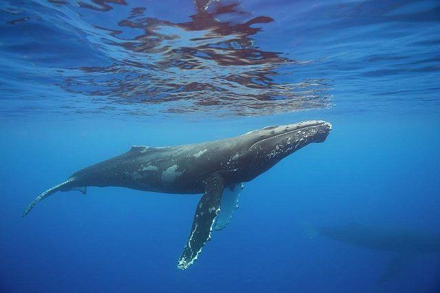 ballena-jorobada-Megaptera-novaeangliae-lista-ballenas-mas-grandes