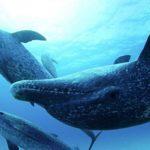-ballenas-bahamas-azules