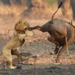 bufalo-pateando-leon