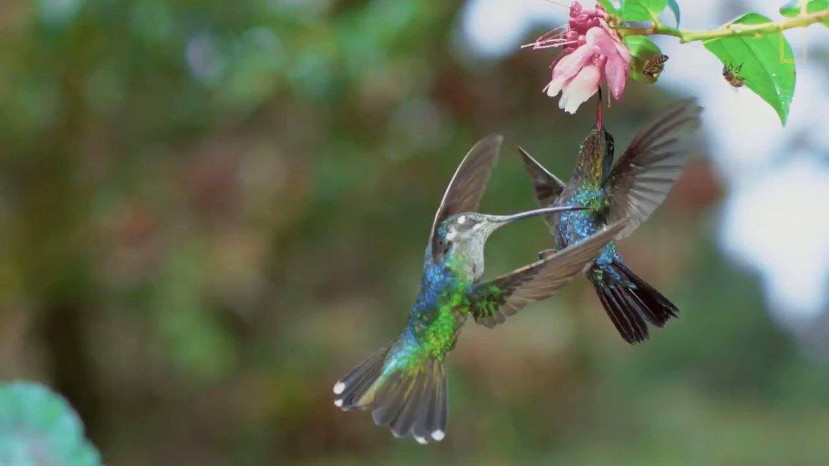 colibries peleando