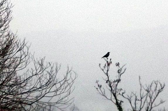 cuervo-bosque