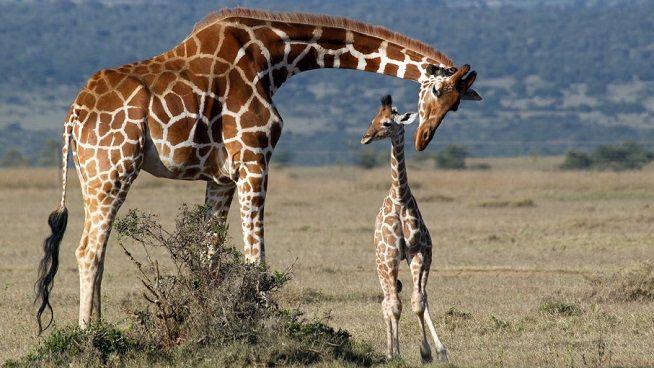 jirafa-cria