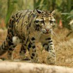 joven-leopardo