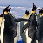 Tremenda pelea de pingüinos emperador por amor