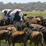 vaca mas grande australia