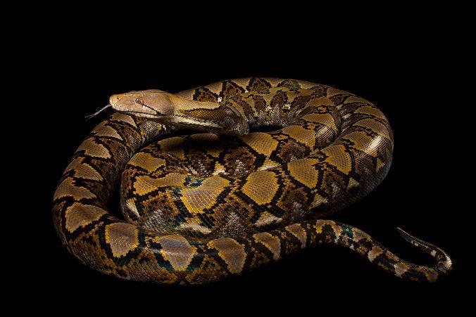 Piton reticulada, la serpiente mas larga de mundo