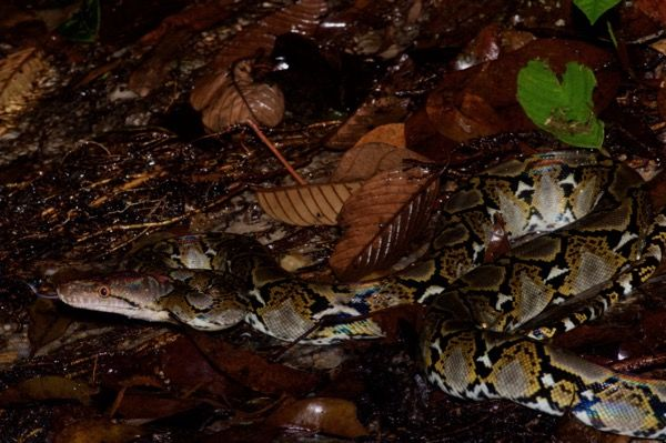 Piton-reticulada-serpiente-mas-larga-del-mundo