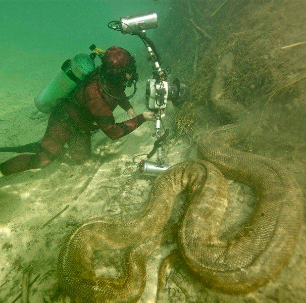 anaconda verde (Eunectes murinus)