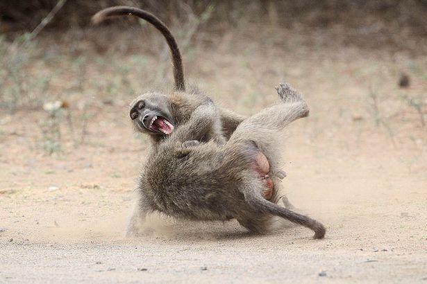 babuinos peleando