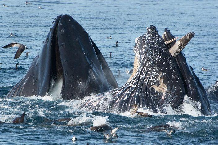 ballenas-comiendo