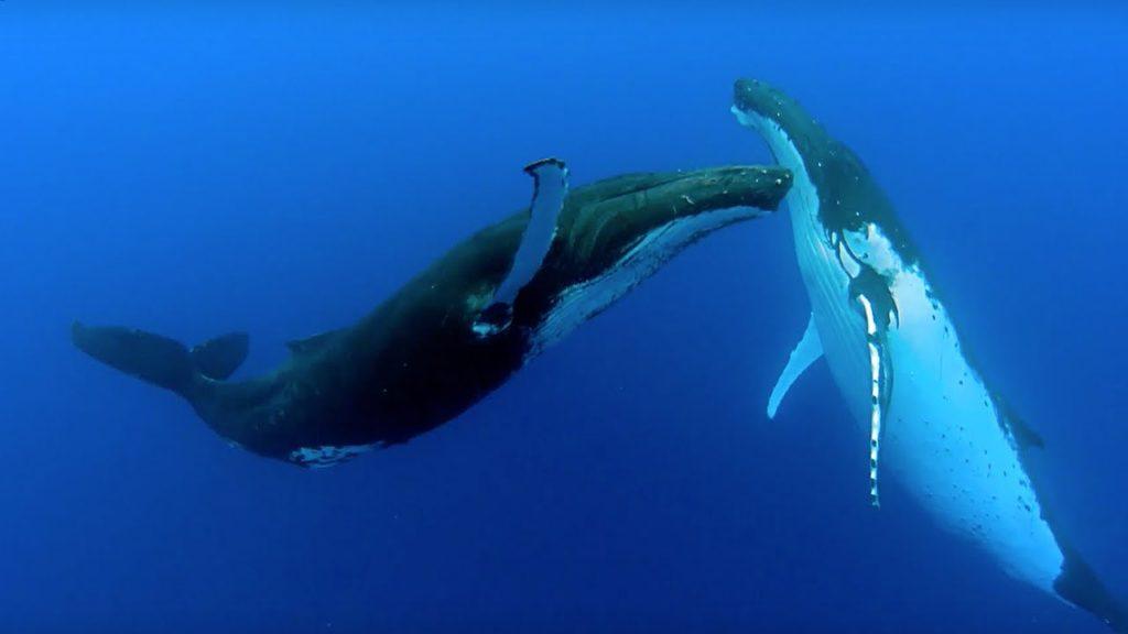 ballenas jorobadas danza