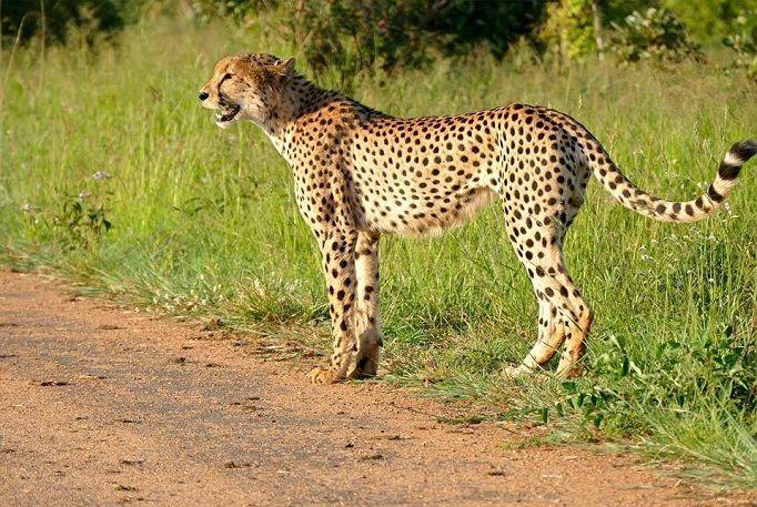 guepardo-Valle-Luangwa-Zambia-