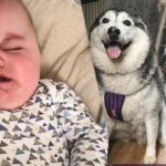 Cuando el bebé llora, llaman a los huskies