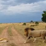 leon despertando leona