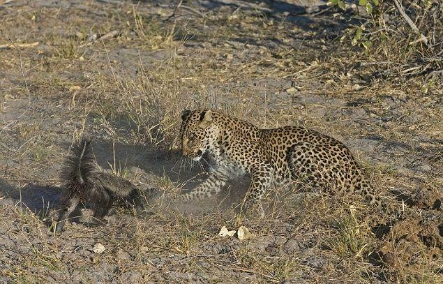 leopardo-tejon-melero-pelea