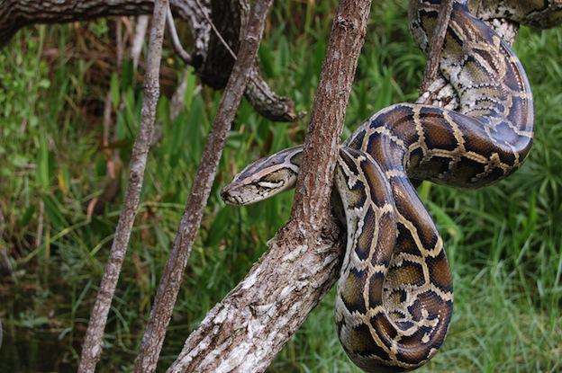 Pitón de Birmania (Python bivittatus)