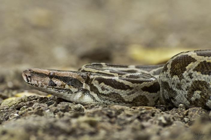pitón de la India (Python molurus)