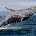 Impresionante salto de una ballena fuera del agua