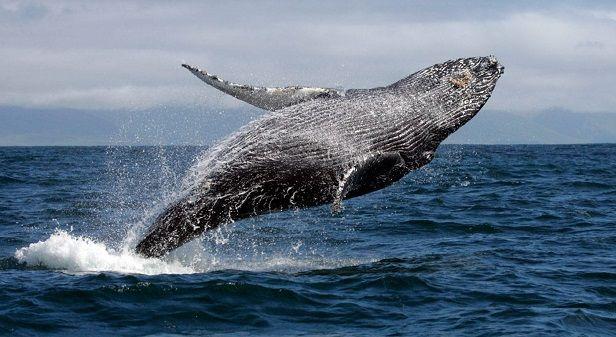 ballena-jorobada-salto