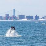 Las ballenas jorobadas retornan a Nueva York