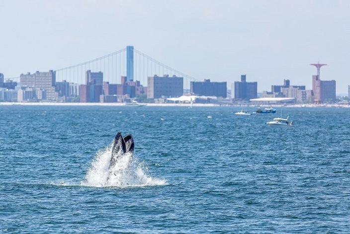 ballenas-jorobadas-nueva-york