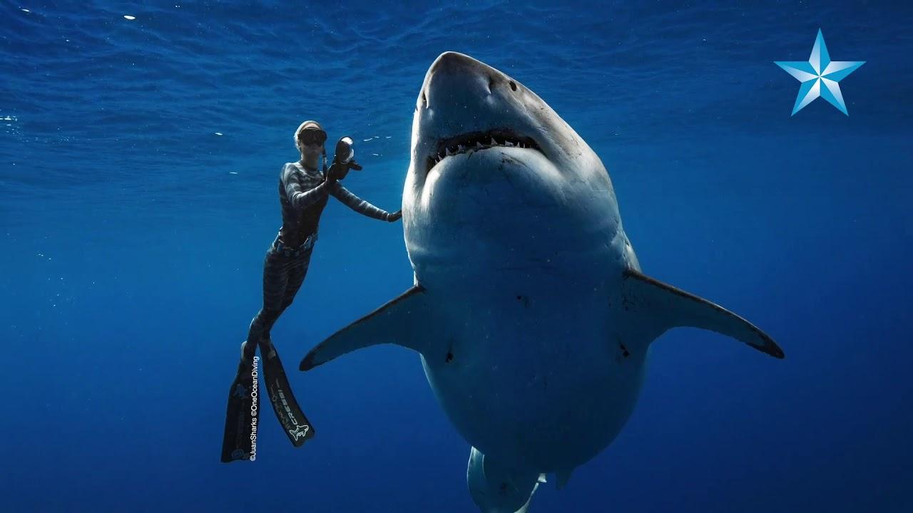 buceando gran tiburon blanco