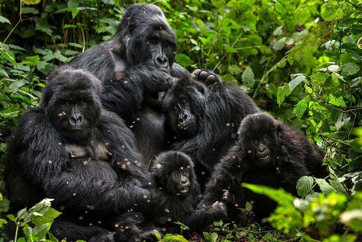 familia-gorilas-congo