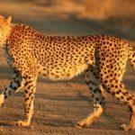 guepardo-africa