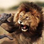 leon atacando hiena