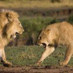 Dos leones invaden territorio y atacan a las leonas