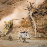 leona-cazando-jabali-