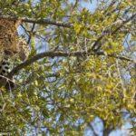 leopardo-cazando-mono-arbol