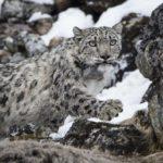 Leopardo de las nieves paseando tranquilamente en libertad