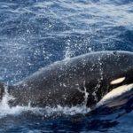 orcas-tipo-d-