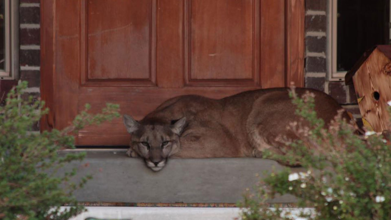 puma durmiendo puerta casa
