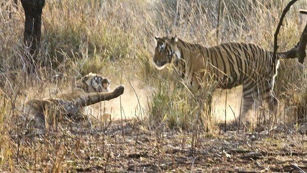 tigres-peleando