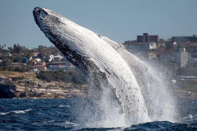 ballena-saltando