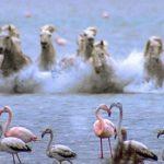 Caballos salvajes galopando hacia flamencos en un río
