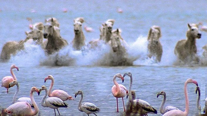 caballos-galopando-flamencos