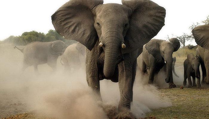 estampida elefantes
