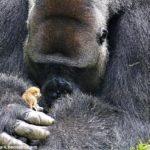 gorila-galago