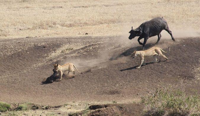 leones-bufalos-