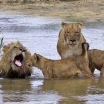 leones-en-la-playa
