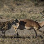 leopardo cazando impala