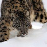 leopardo de las nieves mongolia