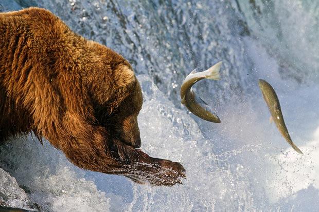 oso pescando salmones